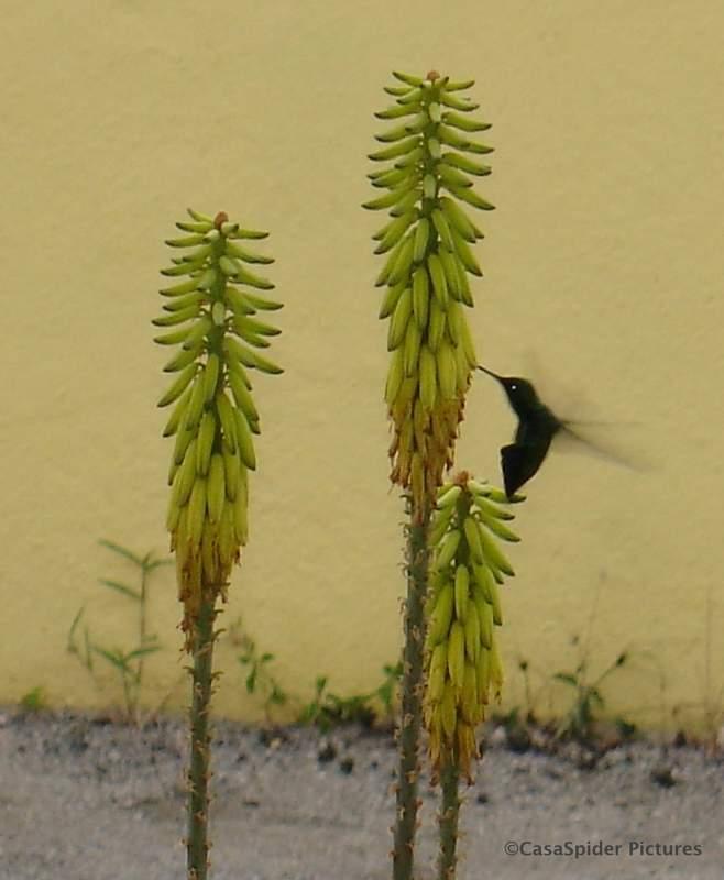 30.03.2007: Een kolibrie bij onze Aloë Vera. Klik voor groter.