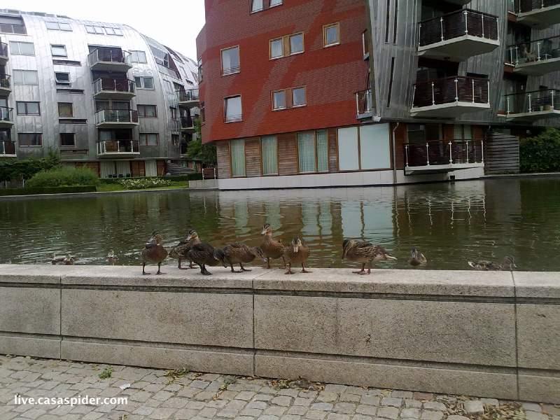 21.07.2010: De eenden in de vijver boven parkeergarage Paleiskwartier zijn niet de snuggersten. Klik voor groter.